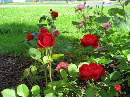 FOTKA - Růže na sídlišti 3