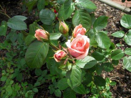 FOTKA - Růže na sídlišti 5