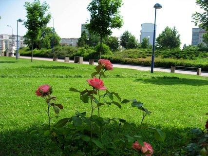 FOTKA - Růže na sídlišti 6