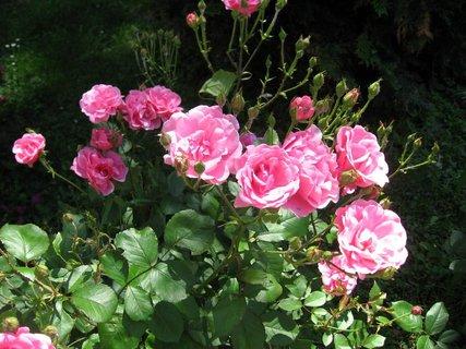 FOTKA - Růže na sídlišti 7
