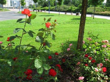 FOTKA - Růže na sídlišti 8