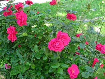 FOTKA - Růže na sídlišti 9