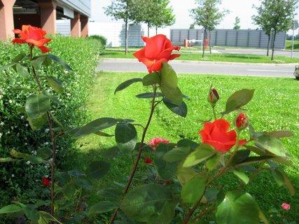 FOTKA - Růže na sídlišti 10