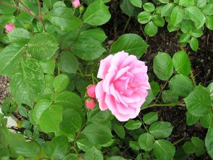 FOTKA - Růže na sídlišti 12