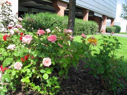 FOTKA - Růže na sídlišti 13