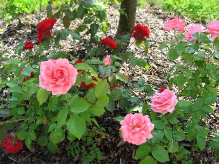 FOTKA - Růže na sídlišti 14