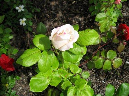 FOTKA - Růže na sídlišti 15