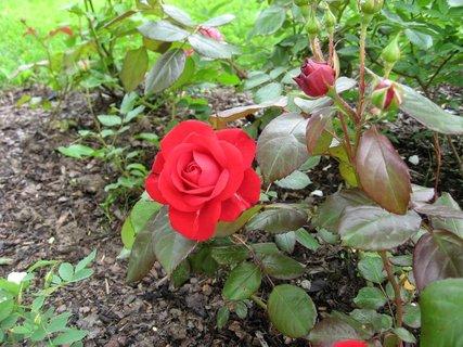 FOTKA - Růže na sídlišti 16