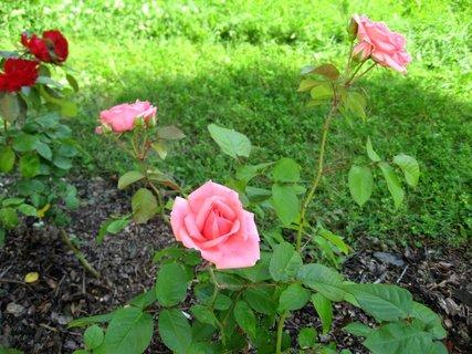 FOTKA - Růže na sídlišti 17