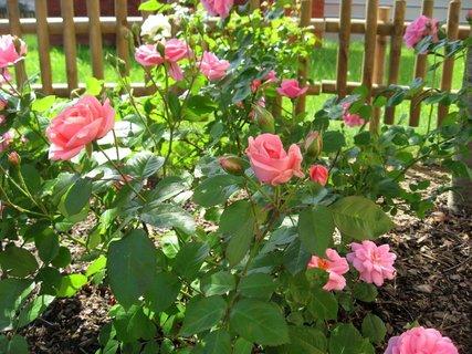 FOTKA - Růže na sídlišti 18