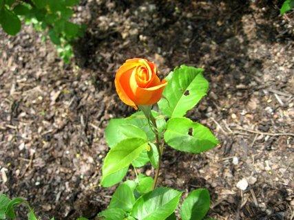 FOTKA - Růže na sídlišti 19