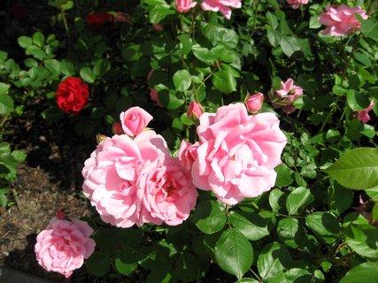 FOTKA - Růže na sídlišti 20