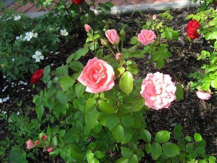 FOTKA - Růže na sídlišti 21