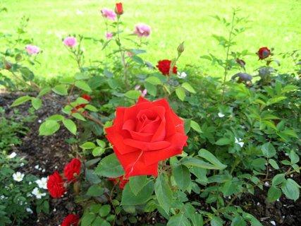 FOTKA - Růže na sídlišti 22