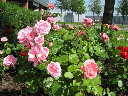 FOTKA - Růže na sídlišti 23