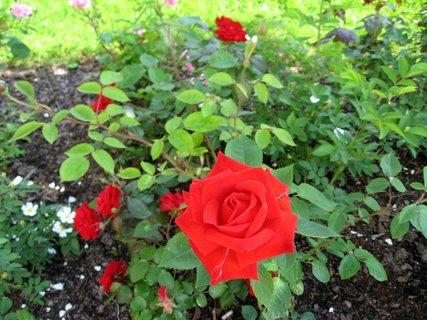 FOTKA - Růže na sídlišti 24