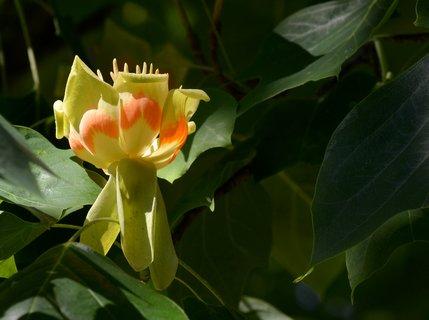 FOTKA - Květ liliovníku