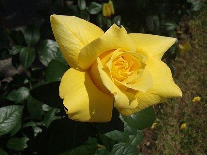 FOTKA - žltá ruža zo záhrady