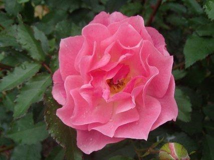 FOTKA - ružová aj s kvapkami