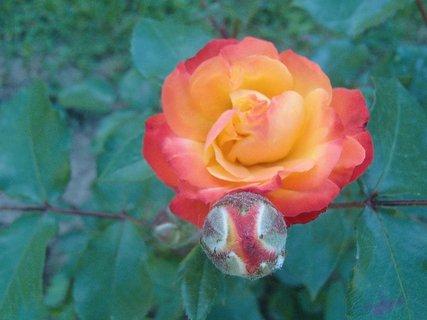 FOTKA - ruža aj s púčikom