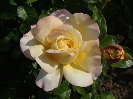 FOTKA - ruža v polotieni