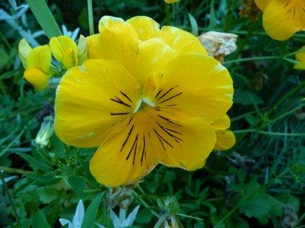 FOTKA - Žlutá maceška 1