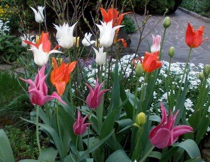 FOTKA - * Barevné tulipány