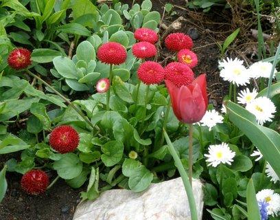 FOTKA - * Zahradní sedmikrásky