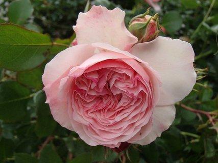 FOTKA - ru�ov� kvitne