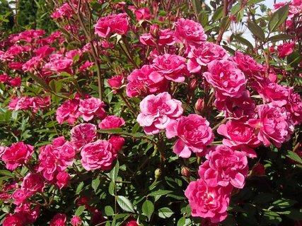 FOTKA - ružový krík