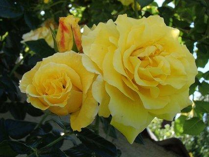 FOTKA - žlté ruže