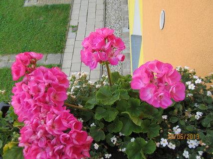 FOTKA - Muškáty jsou v plném květu