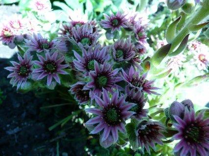 FOTKA - Květy netřesku