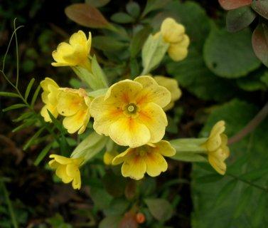 FOTKA - Petrklíč žlutý