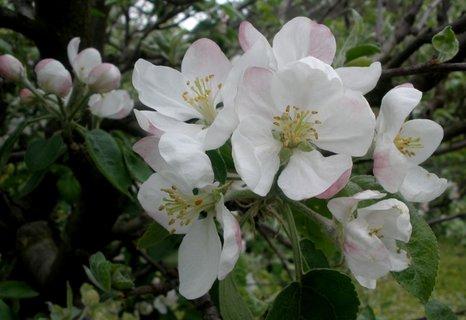FOTKA - * Jabloň v květu