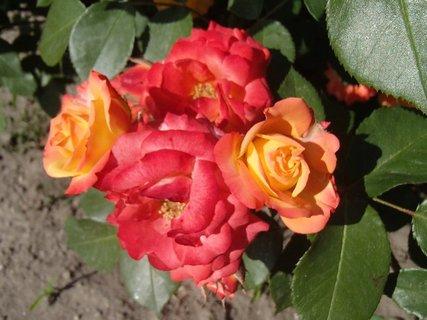 FOTKA - viacfarebný trs ruží