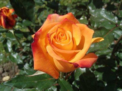 FOTKA - oranžová ruža pre vás