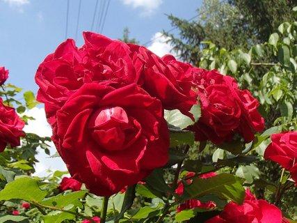 FOTKA - červené ruže s oblohou