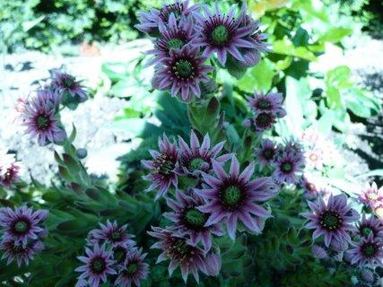 FOTKA - kvetoucí netřesk 2