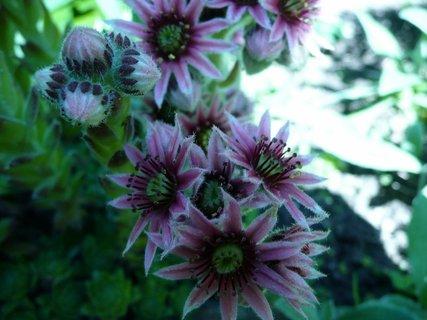 FOTKA - kvetoucí netřesk 3