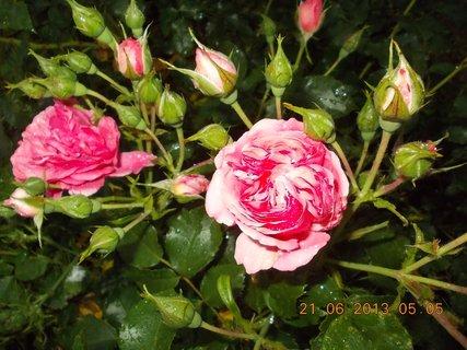 FOTKA - První letní den - 20 - nebe a růže  při bouřce a dešti