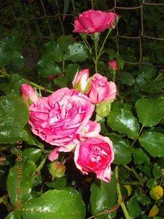 FOTKA - První letní den - 22 - nebe a růže při bouřce a dešti