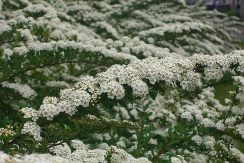 FOTKA - bile minikvety