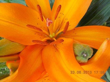 FOTKA - 23. června - 6 - oranžová krása