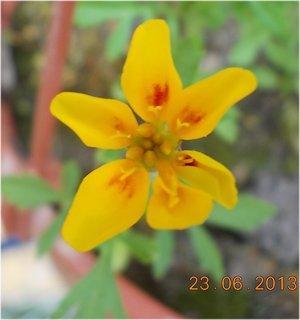 FOTKA - 23. června - 10 - Afrikánek v květináči