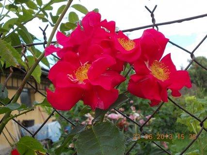 FOTKA - 23. června - 14  - růžička
