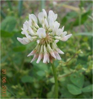 FOTKA - 23. června - 20  -bílo růžový jetelíček