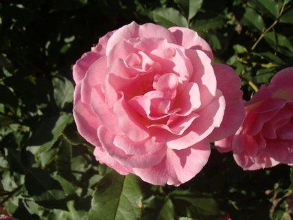 FOTKA - ružová v plnom kvete