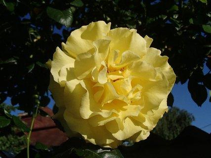 FOTKA - žltá v plnom kvete