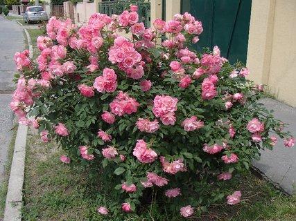 FOTKA - ružový krík pred domom